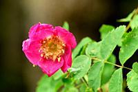 Alpine Rose, Rosa pendulina, Rosaceae, blossom, rain drops, shrub. plant, near Sarn, Heinzenberg, Alps, Canton of Graubünden, Switzerland