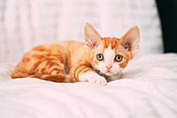Funny Curious Young Red Ginger Devon Rex Kitten Sitting At Home Sofa. Short-haired Cat Of English Breed.