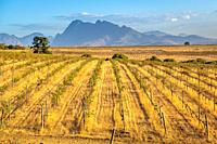 Vineyard at the Black Pearl Winery, Paarl, Western Cape, South Africa.