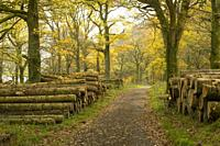 A path though Holme Wood in Autumn on the shore of Loweswater in the Lake District National Park, Cumbria, England.