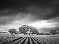 An infrared black and white image of the English countryside in summer near Wrington, North Somerset, England.