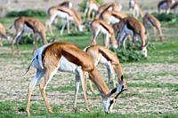 Springbok (Antidorcas marsupialis) Kgalagadi, South Africa.