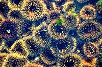 Colorful Sea Urchins on Shark Island, Luderitz , Namibia.