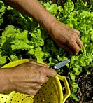 Woman cutting Black Seeded Simpson Lettuce for salad.