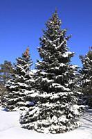 Canada, Montreal, winter, pine tree, snow,.