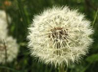 Dandelion seedhead.