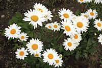 Daisies, flowers,.