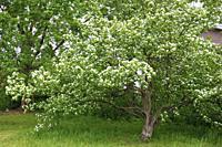 Spring, flowering tree,.