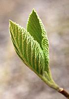 Spring, bud, shoot, leaf,.