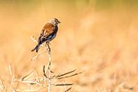 A common linnet is searching for fodder.
