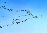 Many Snow Geese Flying in Formation Skagit Valley Washington.