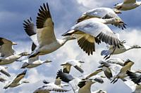 Many Snow Close Up Geese Flying Skagit Valley Washington.