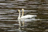 White Trumpeter Swans Cygnus Buccinator Juanita Bay Park Lake Washington Kirkland Washiington. Heaviest bird native to North America.
