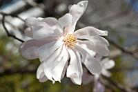 Close up of magnolia stellata flowers.