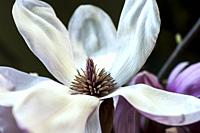 Close up of magnolia flower.