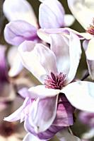 Close up of magnolia flowers.