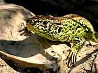 sand lizard during a sunbathing, male reptile.