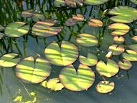 a pond with water lily leaves in sun and shadow.