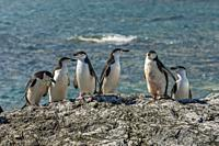 Chinstrap penguins (Pygoscelis antarctica) at Point Wild, where the men of the Shackleton Endurance expedition 1914.