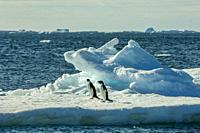Adelie penguins (Pygoscelis adeliae) on an ice floe at Paulet Island at the tip of the Antarctic Peninsula.