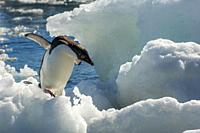 An Adelie penguin (Pygoscelis adeliae) jumping on an ice pebble at Paulet Island at the tip of the Antarctic Peninsula.