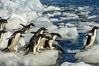 Adelie penguins (Pygoscelis adeliae) jumping into the sea from an ice pebble on Paulet Island at the tip of the Antarctic Peninsula.