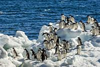 Adelie penguins (Pygoscelis adeliae) waiting to jump into the sea on an ice pebble at Paulet Island at the tip of the Antarctic Peninsula.
