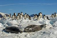 Adelie penguins (Pygoscelis adeliae) and Weddell seals on ice floes at Paulet Island at the tip of the Antarctic Peninsula.