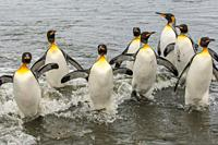 King penguins (Aptenodytes patagonicus) returning from feeding at sea at the King penguin colony (Aptenodytes patagonicus) at Gold Harbour, South Geor...