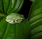 American Green Tree Frog on Leaf.