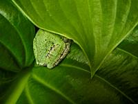American Green Tree Frog on Leaf concealing and blending into the leaf structure.