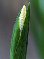 Close up of yellow tinged flower of iris foetidissima about to bloom thorough its dark green leaves.