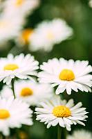 Blooming Wild Flowers Matricaria Chamomilla Or Matricaria Recutita Or Chamomile. Commonly Known As Italian Camomilla, German Chamomile, Hungarian Cham...