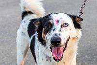 Cross between Border Collie and Siberian Husky, the dog has a rare and uncommon condition in which the eyes have different colors.