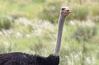 Common ostrich (Struthio camelus), adult male, animal portrait, Kgalagadi Transfrontier Park, Northern Cape, South Africa, Africa.