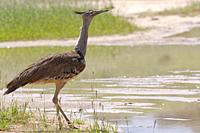 Kori bustard (Ardeotis kori), adult, at a waterhole, looking out, Kgalagadi Transfrontier Park, Northern Cape, South Africa, Africa.