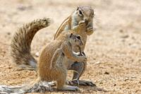 Cape ground squirrels (Xerus inauris), adult and young, feeding on a thorny twig, Kgalagadi Transfrontier Park, Northern Cape, South Africa, Africa.