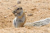 Cape ground squirrel (Xerus inauris), young male, feeding on a thorny twig, Kgalagadi Transfrontier Park, Northern Cape, South Africa, Africa.