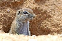 Cape ground squirrel (Xerus inauris), adult, looking out from the burrow entrance, alert, Kgalagadi Transfrontier Park, Northern Cape, South Africa, A...