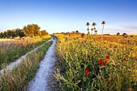 Silybum marianum and olive trees at The Pantoja path, early in the morning. Pinto. Madrid. Spain. Europe.