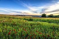 Wheat field with poppies in Pinto. Madrid. Spain. Europe.