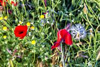 Poppies, dandelions and daisies in spring time. Pinto. Madrid. Spain. Europe.