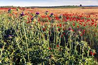 Silybum marianum in the fields, early in the morning. Pinto. Madrid. Spain. Europe.