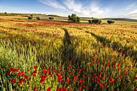 Ruts in the wheat field with poppies in Pinto. Madrid. Spain. Europe.