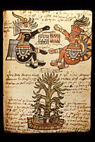 Cacao tree. Codex Tudela, 16th-century pictorial Aztec codex. Museum of the Americas, Madrid, Spain.