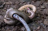 A smooth snake wraps around a captured slow worm.