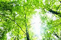 Treetops seen from below with sunlight shining through the green leaves, nature reserve The Bilt, The Netherlands, Europe.