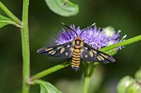 Tiger Moth (Amata huebneri) on flower, Klungkung, Bali, Indonesia.