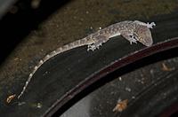 Bent-toed Gecko (Cyrtodactylus jatnai), endemic to Bali, Klungkung, Bali, Indonesia.