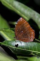 Common Palmfly Butterfly (Elymnias hypermnestra), Klungkung, Bali, Indonesia.